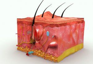 cấu tạo da