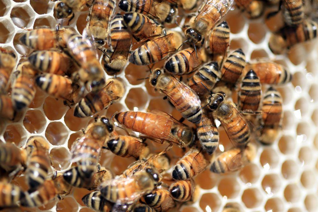 ong đốt